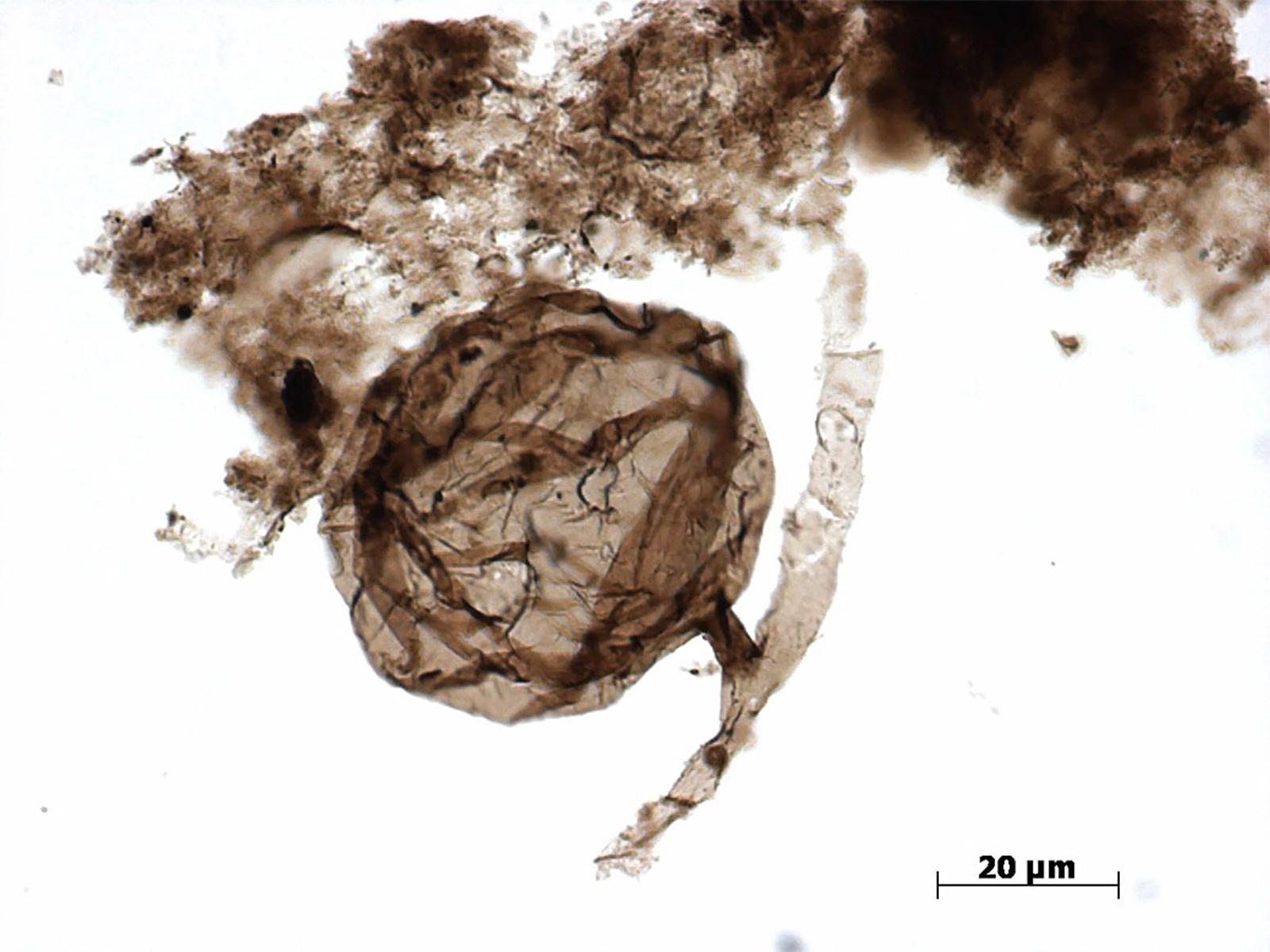 Ältester Pilz der Welt entdeckt