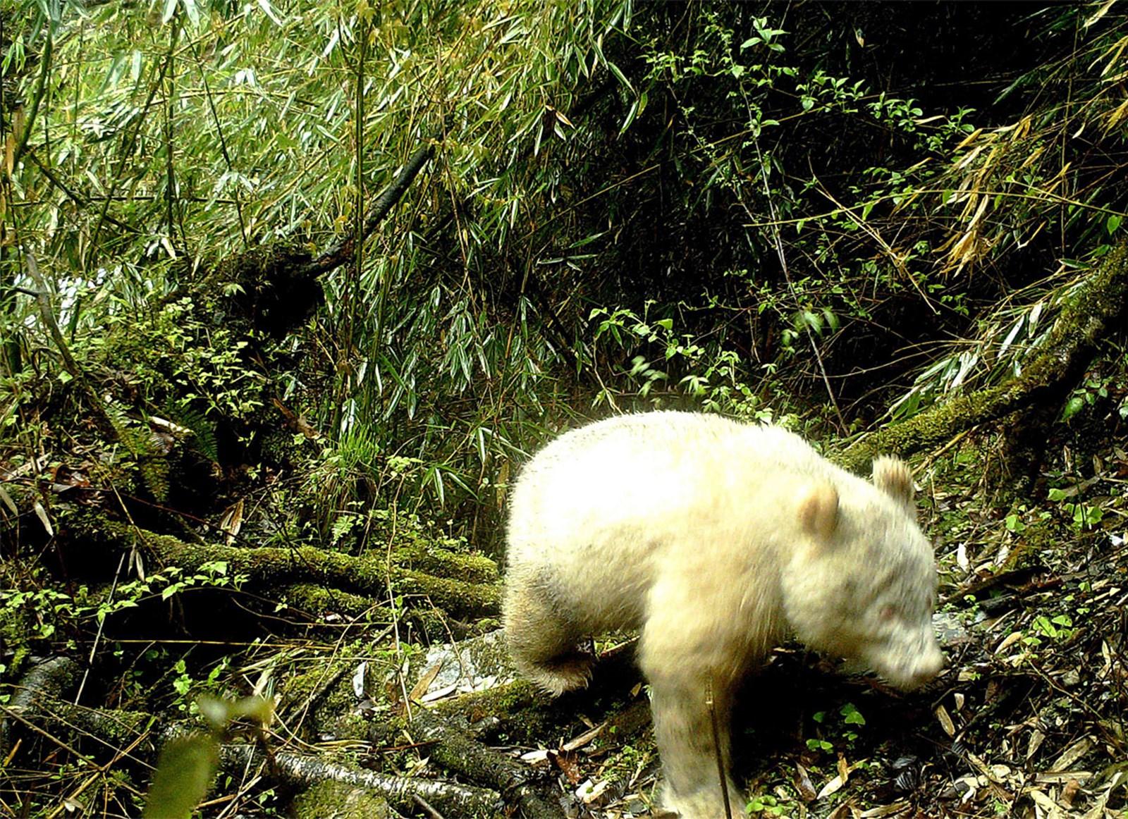 Einmaliger Anblick: Gänzlich weißer Riesenpanda geriet in Fotofalle