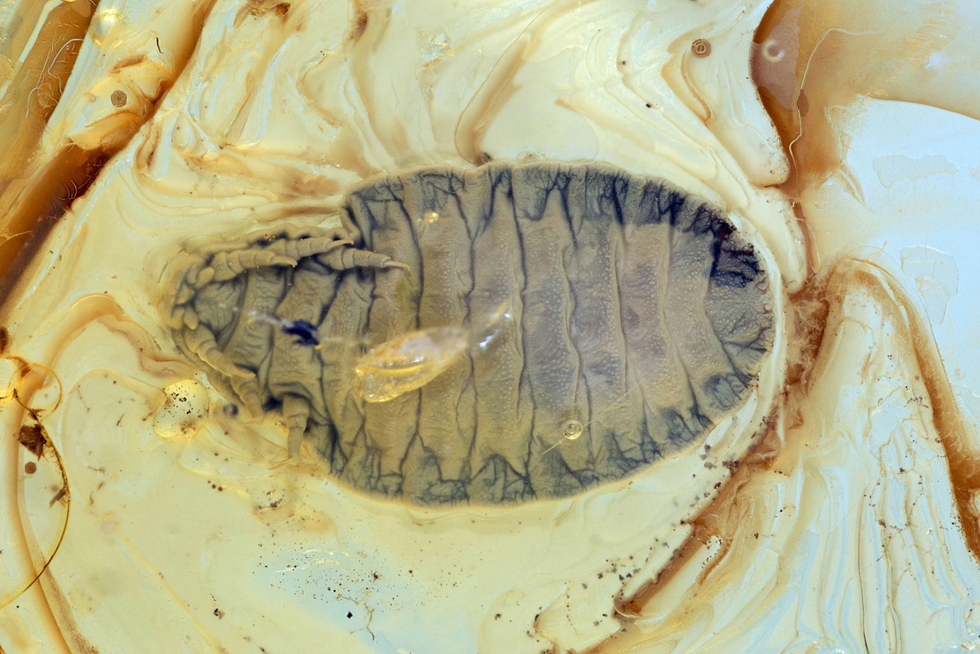 Teilchenbeschleuniger enträtselt einzigartiges Urzeit-Insekt – derStandard.at