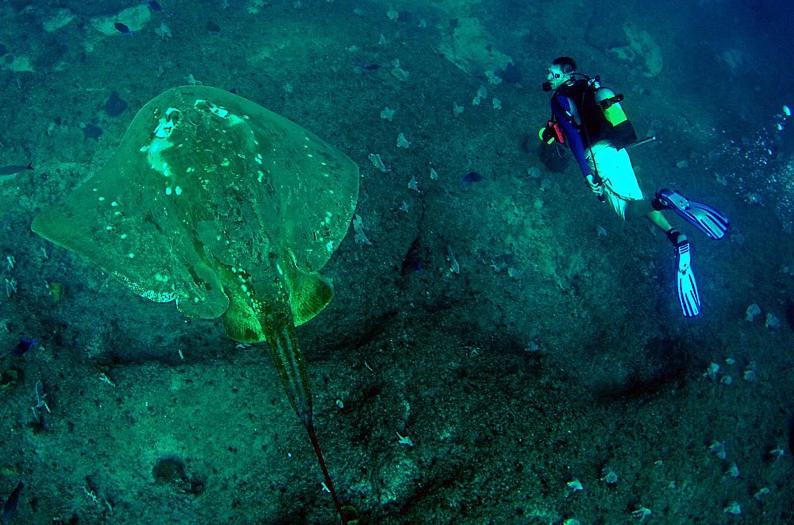 Forscher sammeln Touristenfotos von riesigem Stechrochen