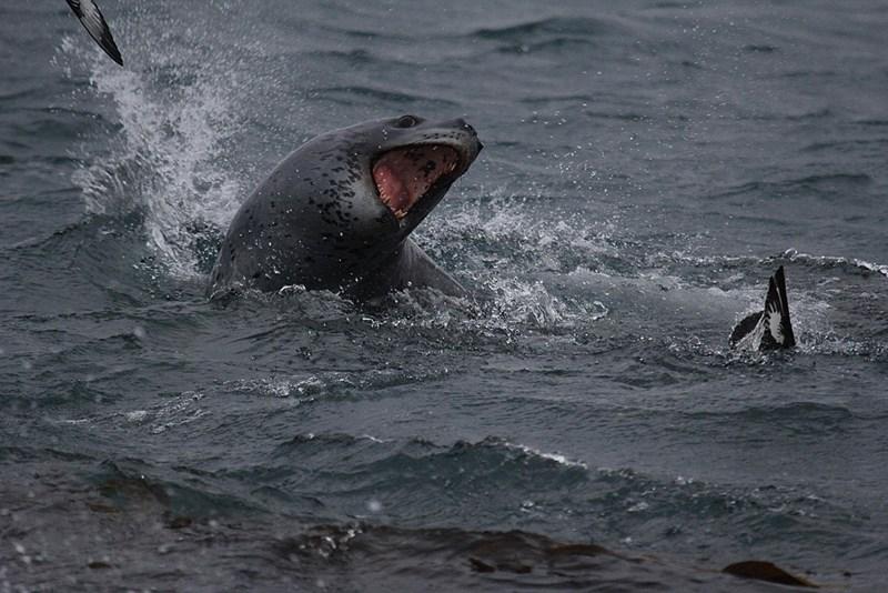 Seeleoparden: Gefährliche Jäger mit unerwartet sozialer Seite