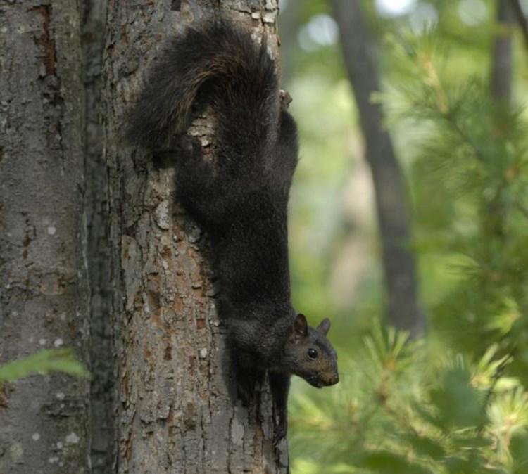 Woher plötzlich schwarze Eichhörnchen kommen