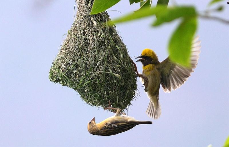 Vögel erhalten von ihren Müttern schon im Ei Gesangsunterricht