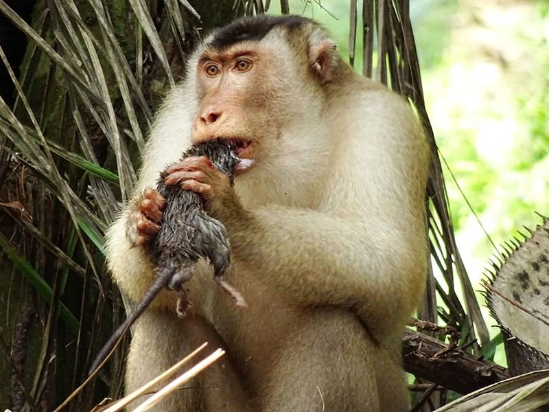 Ratten-fressende Affen machen Palmölproduktion nachhaltiger