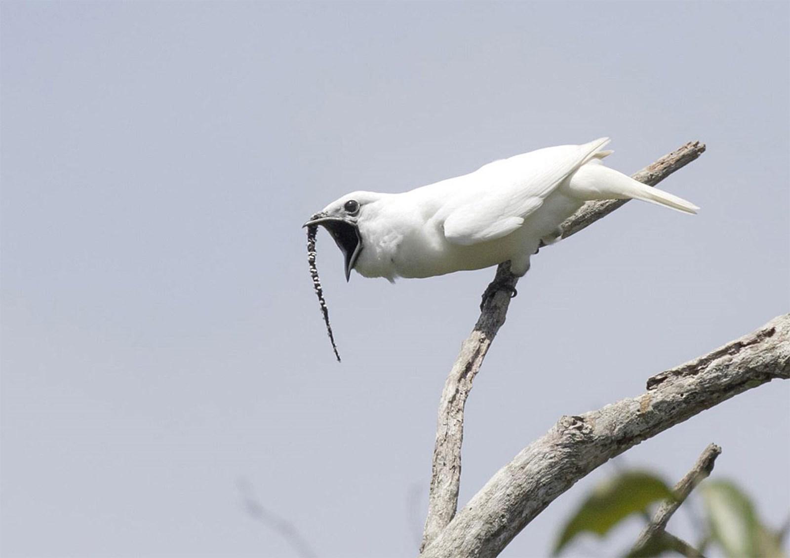 Der lauteste Vogel der Welt gibt Rätsel auf – derStandard.at