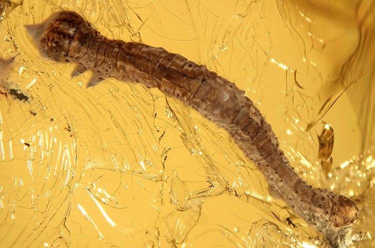 Bernstein konservierte eine 44 Millionen Jahre alte Raupe