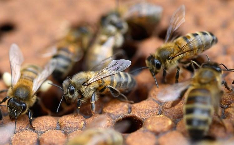 Neue Technologie als vielversprechende Waffe im Kampf gegen Bienenseuche