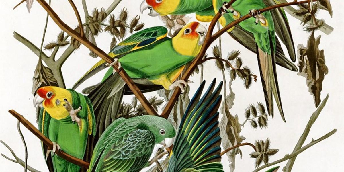 Warum eine nordamerikanische Papageienart 1927 ausstarb