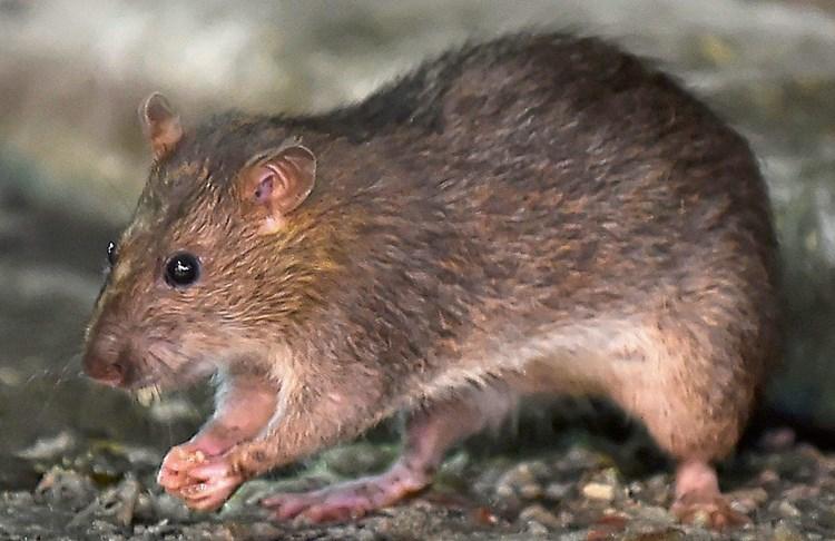 Ratte Wäscht Sich