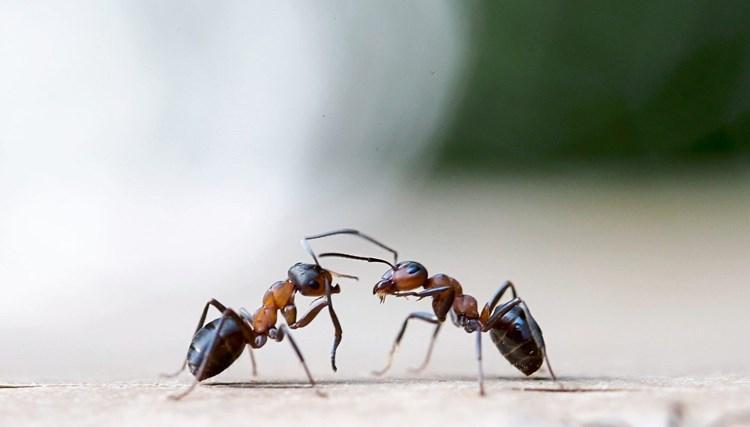 """Forscher untersuchen die """"soziale Immunität"""" von Insektenstaaten"""