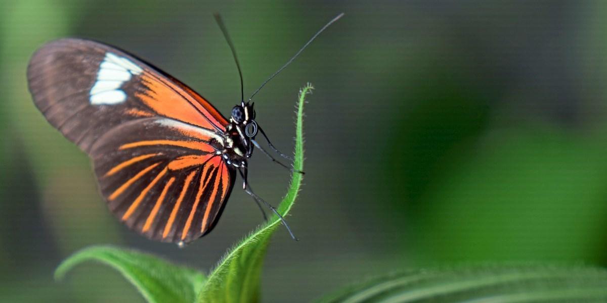 Giftige Schmetterlinge wechseln ihre Flügelmuster