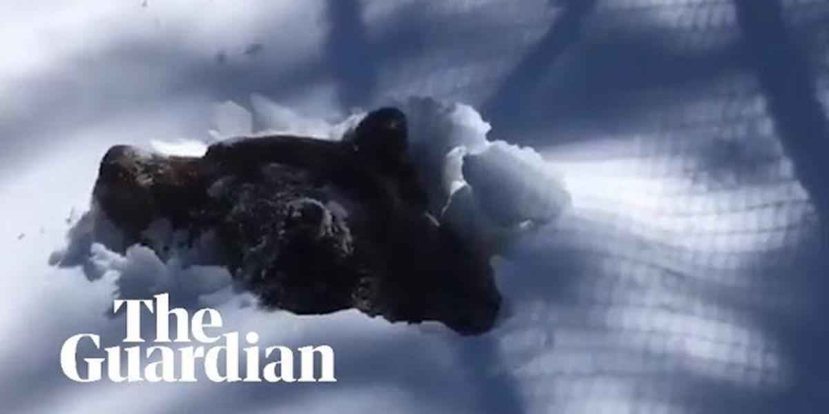 Video eines Grizzlybären, der aus dem Winterschlaf erwacht, geht viral