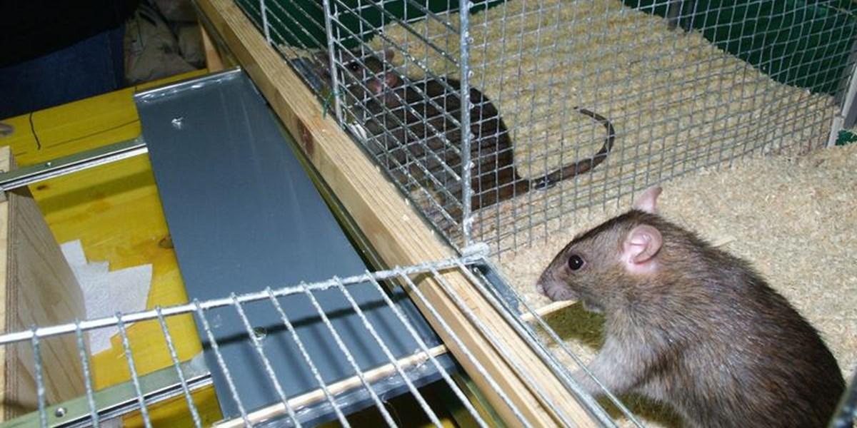 Hilfsbereitschaft hat bei Ratten einen eigenen Duft