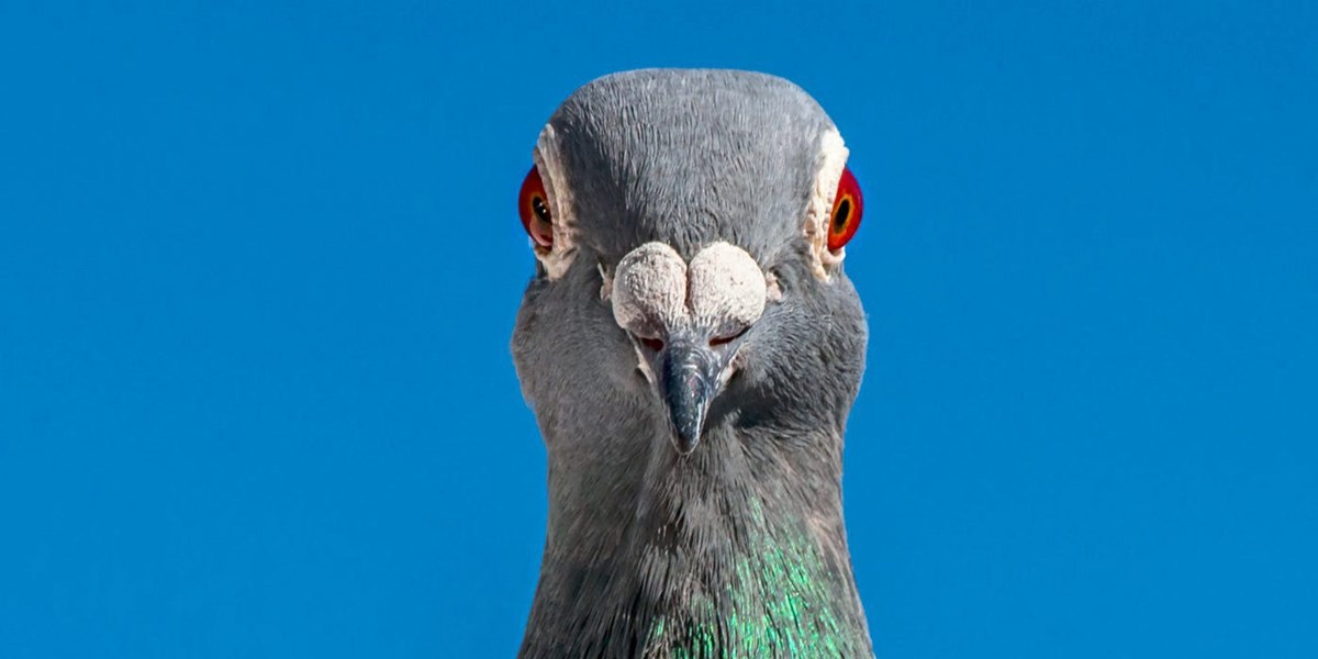 Tauben erstellen exakte Geruchslandkarten zur Orientierung
