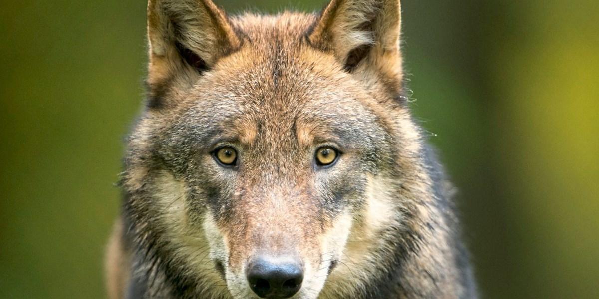 Wolfsbestand in Österreich auf rund 40 Tiere zurückgegangen