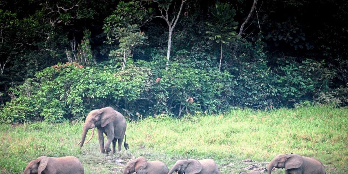 Afrikanische Waldelefanten sind vom Aussterben bedroht