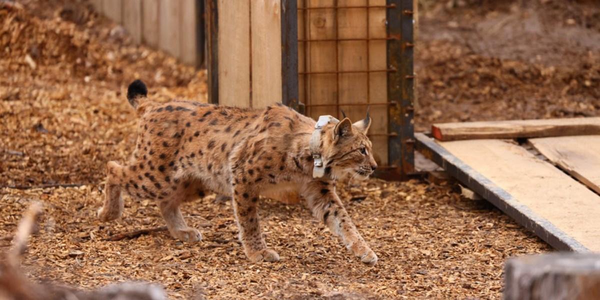Fünf Luchse in slowenischem Nationalpark Triglav freigelassen