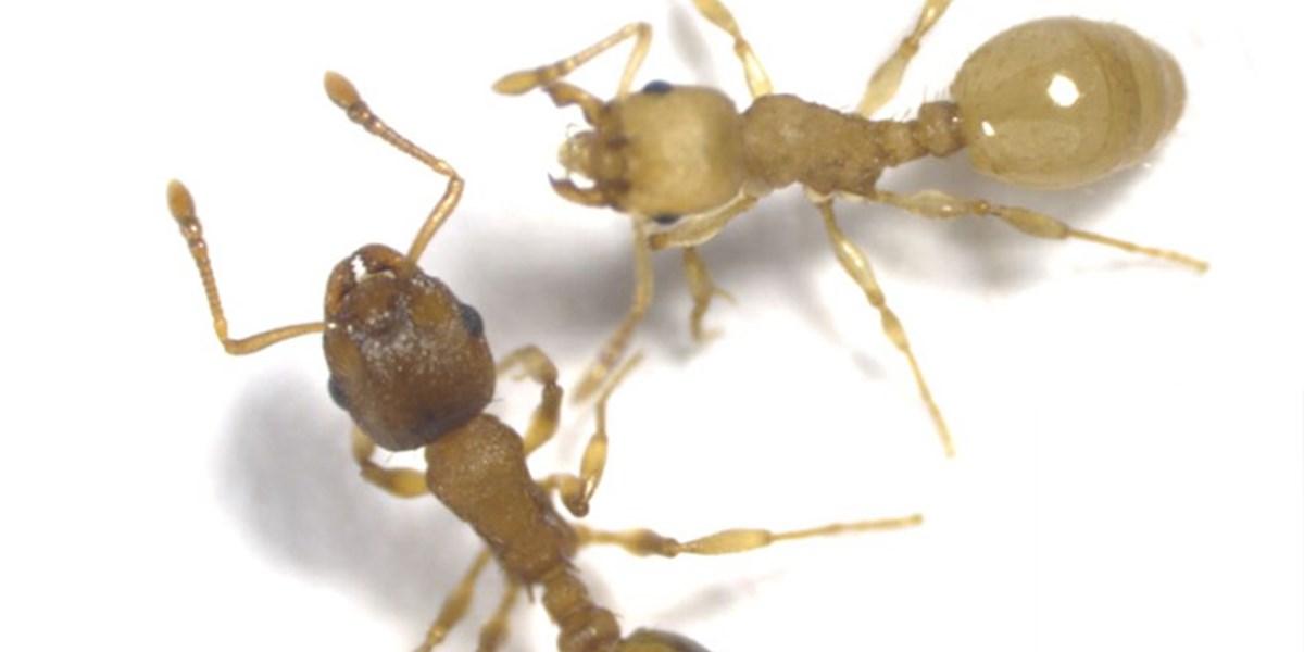 Ameisen-Parasit verlängert Lebensspanne um das Zehnfache