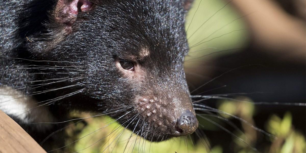 Tasmanische Teufel erstmals seit 3.000 Jahren auf australischem Festland geboren