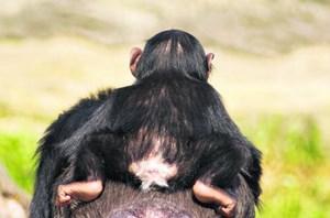 schimpansen erkennen einander am po natur wissenschaft. Black Bedroom Furniture Sets. Home Design Ideas