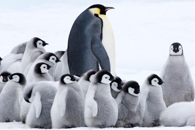 https://images.derstandard.at/t/M625/movies/2017/25987/171103223036496_17_die-reise-der-pinguine-2_aufm04.jpg